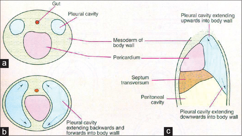 Figure 2: Schemes to show (a-c) how pleural cavity expands into the body wall