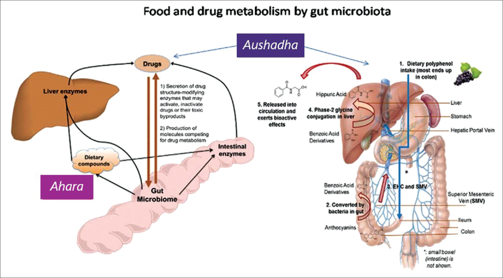 Figure 1: Overview of gut microbiota functions in food and drug metabolism